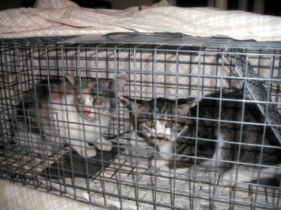 I町の捕獲黒白ママの子猫2匹