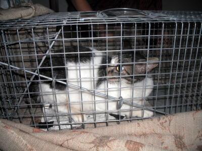 I町捕獲3匹の子猫のママ