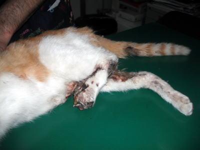 保護した負傷猫茶白下肢部分