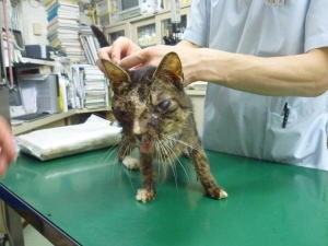 丸子橋保護の猫713診察時1