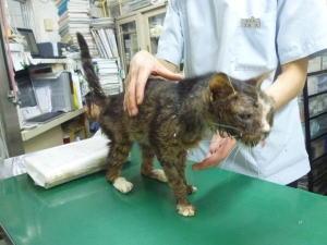 丸子橋保護の猫713診察時3