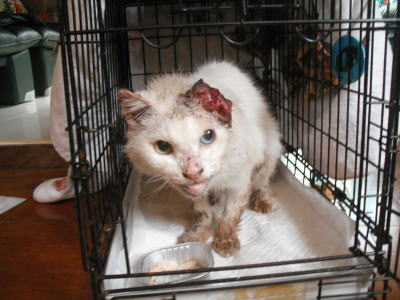 扁平上皮がんの白猫