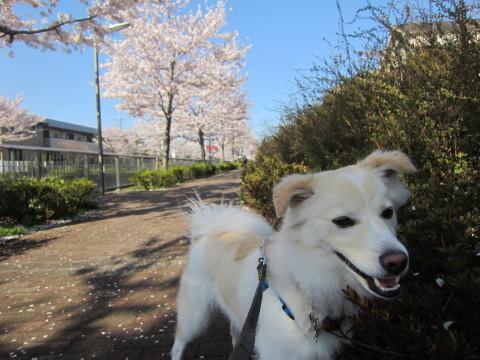 h24,4桜8