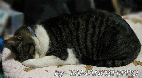 顔を隠して寝るネコ