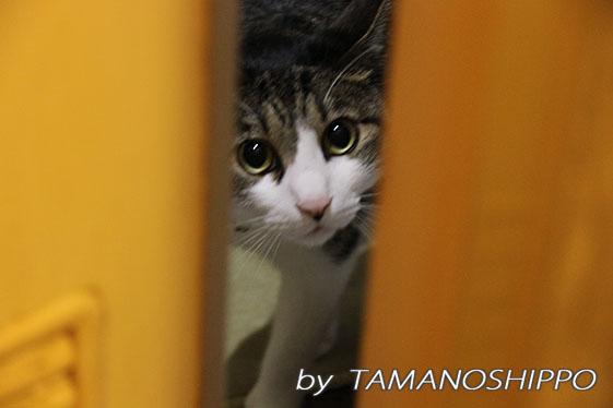飼い主を探す猫