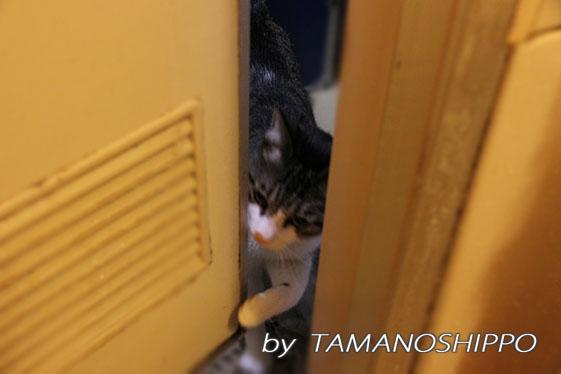 トイレに入ってくる猫