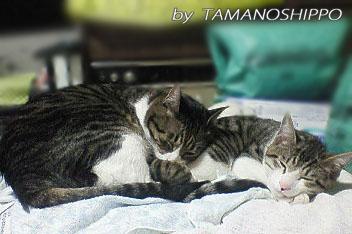 猫同士仲良く寝るネコ