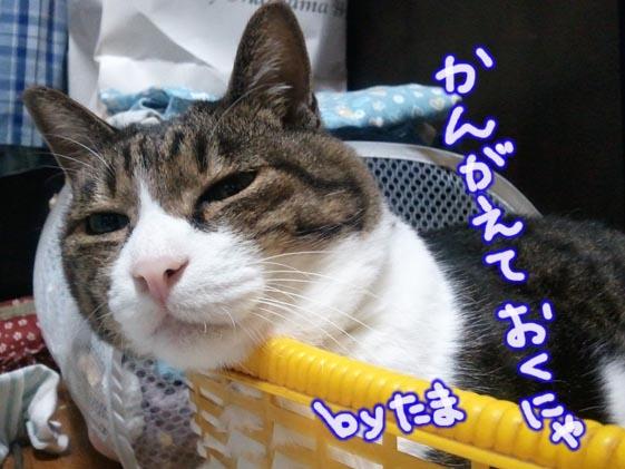 ダレ猫 たま