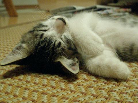 いつも寝てるショコラ