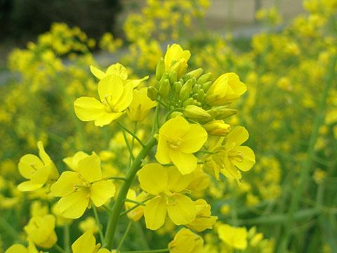 西洋芥子菜の花