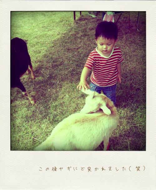 その場の草を食べつくしていたヤギ