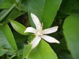 レモンの花 2011