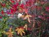 h23,10,29庭先も紅葉(楓とドウタンの共演) コピー