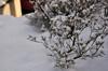 h24,1,7庭の雪も撮ってみたのコピー