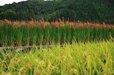 通常品種と赤米