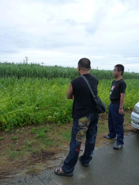 喜界島のゴマ畑