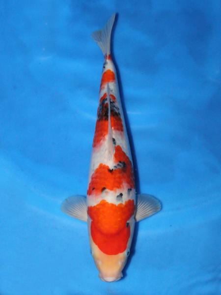 0701DAINICHI-105-HOTARU3-1Y-TAISHOSANSYOKU-35cm_convert_20110709113814.jpg