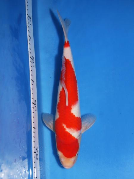 0701NOGAMI-5-1y-KOHAKU-35cm_convert_20110804003515.jpg