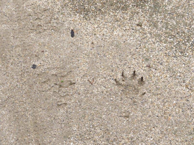 IMG_8205アライグマの足跡ー28