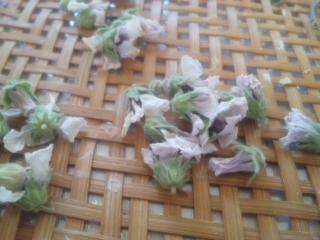 マシュマロウ乾燥