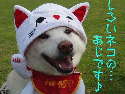 20111127@恋の浦 白い猫の...あじです♪
