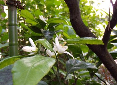 みかんの花 1