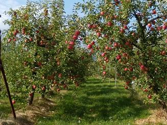 りんご狩り 1