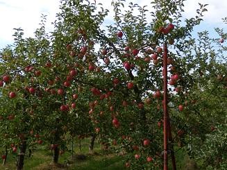 りんご狩り 2