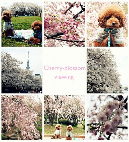 Cherry-blossom viewing1