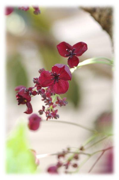 1アケビの花