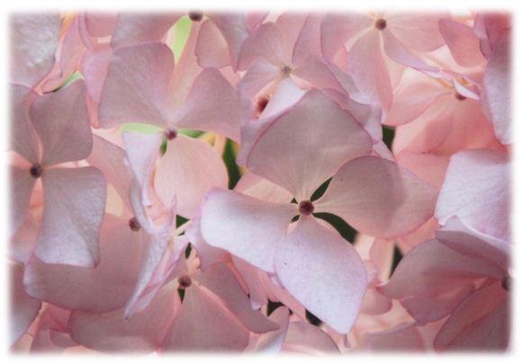 ピンクアジサイ