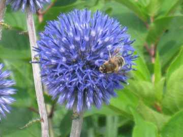 ヒゴタイ ミツバチ