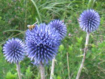 ヒゴタイ ミツバチ2
