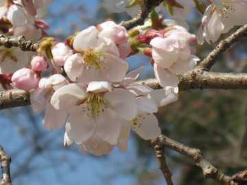杉の馬場桜