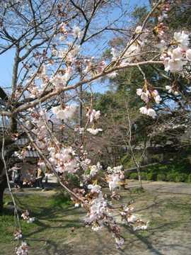 杉の馬場桜2
