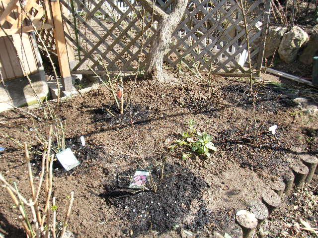 イングリッシュローズを6苗植えました。