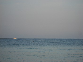Dolphine and boat