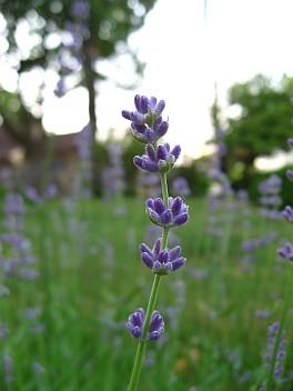 Lavender 2011