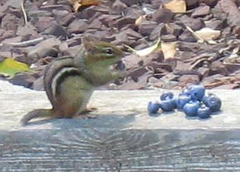 chipmunk with bb
