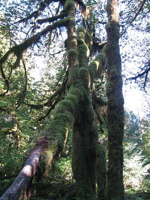 木々に茂るコケ