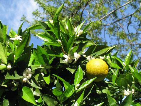 オレンジライム1