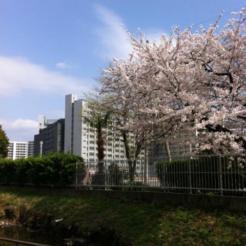 東京拘置所と桜