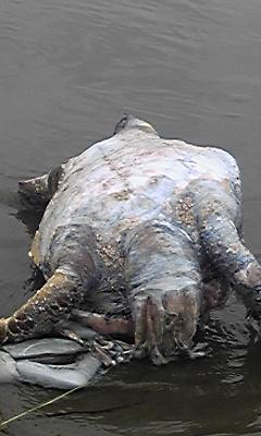 2011029-ウミガメ2