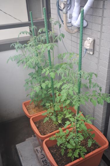 3連トマト