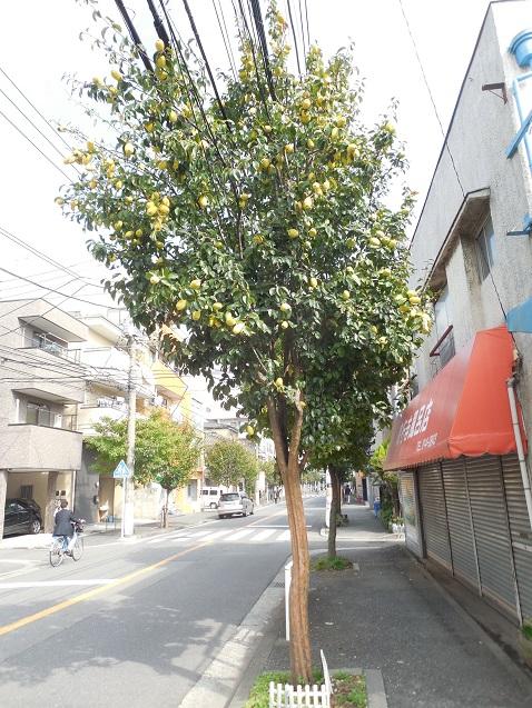 カリンの街路樹A