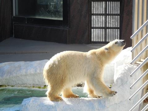シロクマ@上野動物園C