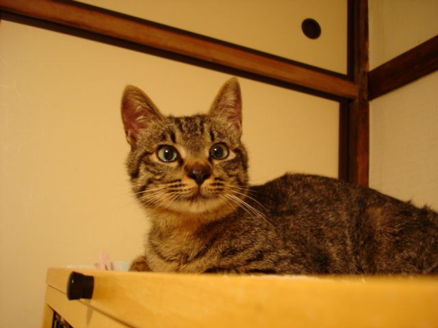 住宅猫キジトラ♂