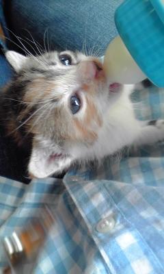 三毛猫モモ♀