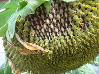 向日葵の種