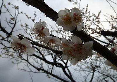 P1060213桜